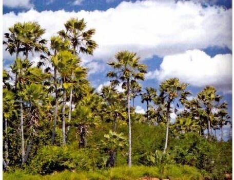 Brazil Cocais Forest